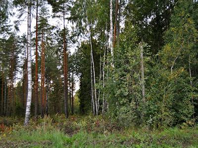 Harvendusraie – Hooldatud (võrdlus Hooldatud Ja Hooldamata Metsa Vahel)